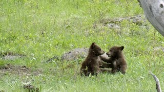 Bear Cubs Play Fight Each Other