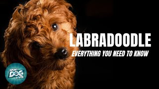 Labradoodle Dog Breed Guide | Dogs 101  Labradoodle