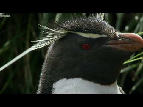 Hilarious Penguins Learn To Climb | Wild Patagonia | BBC Earth