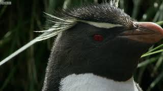 えっちらおっちら、時々つるるん。イワトビペンギンの岩登りがけなげで応援したくなる