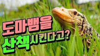 도마뱀을 산책시킨다는것 왕도마뱀의 일상 파충류키우기