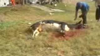 cow qurbani in jhelum 2009