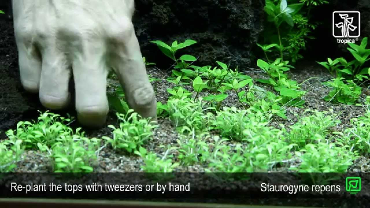 & Staurogyne repens - YouTube azcodes.com