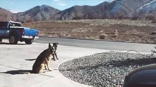 DUKE (Service Dog Poodle Mix)