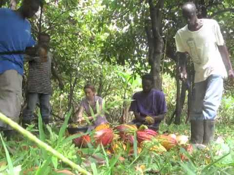 Harvest of Grococo organic cocoa beans.m4v