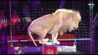 Скачать Белые львы Африки в Пермском цирке