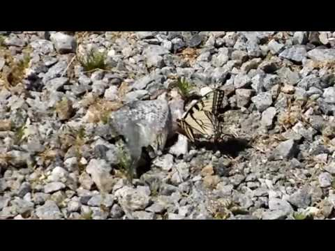 Butterfly (monarch?) Snacking On A Dead Fish