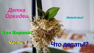 """Детки Орхидеи без корней!?Часть 1 Личный опыт от """"Lady Vikki""""."""