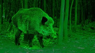 Moonlit monster: Hunting giant wild boar in Scotland