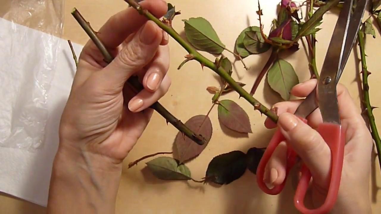 Trei variante de inmultire a trandafirilor prin butasi in ghiveci in  decembrie