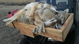 HOW TO GRADE COYOTES! | They're Worth How Much???