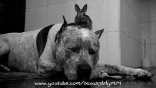Good Night! Snoring Pit Bull Sharky With Calm Bunny. Dog & Rabbit. Www.helespets.com