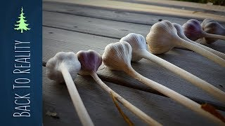 No Dig Garlic: Planting, Harvesting, and Drying Garlic Using the Ruth Stout Method