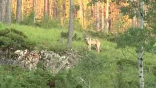 Wolf sighting in the Black Hills