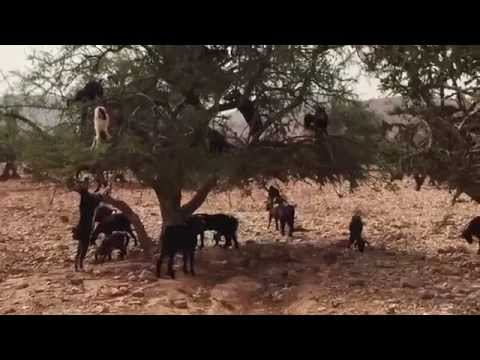 **STRANGE BUT TRUE!** Goats Climbing & Falling From Trees! - Morocco (Very Strange & Very Funny!)