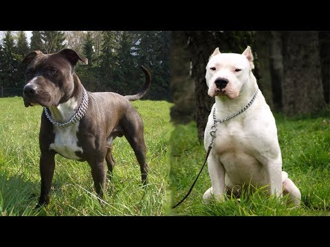 american staffordshire terrier vs Dogue argentin