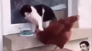 Драка животных петуха и кота