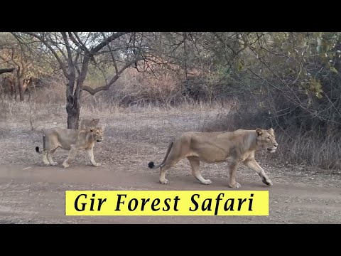 Gir Forest National park safari 2016