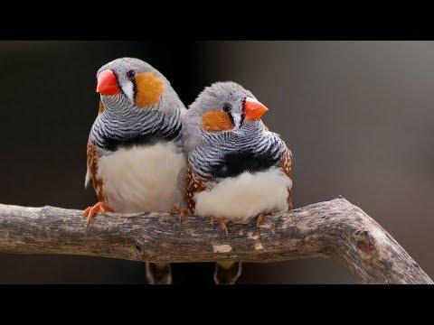 Zebra Finch courtship song