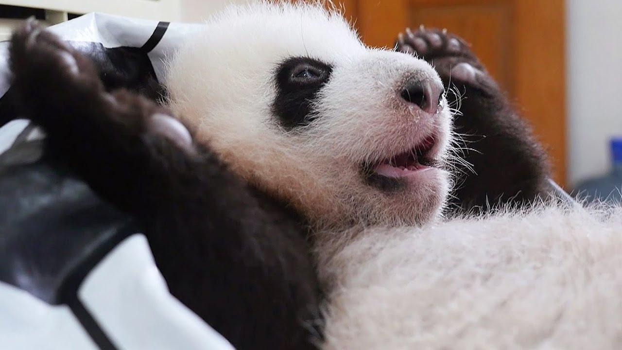 apprendre faire caca un b b panda zapping sauvage youtube. Black Bedroom Furniture Sets. Home Design Ideas