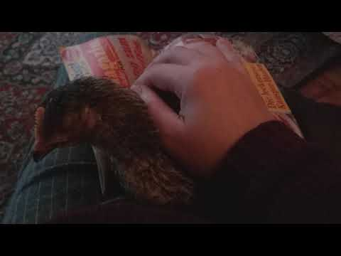 Цыпленок заболел и умирает!! Что делать??!!!