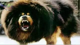 A dog worth 30 crores RUPEES OMG . 30 करोड़ रुपये का कुत्ता .30 CRORE RUPIYE KA KUTTA