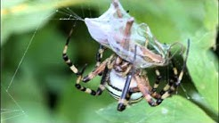 Wespenspinne beißt Grashüpfer