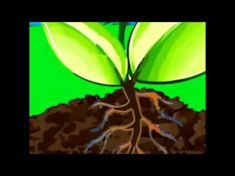 Fotos ntesis y respiraci n de las plantas youtube - Como se planta el bambu ...