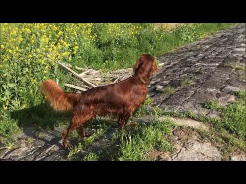 Happy days with Irish setter from Japan