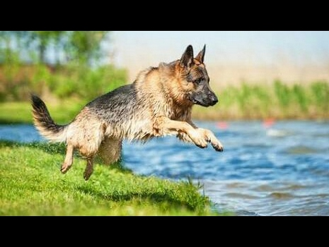 Top 10 Most Expensive Dog Breeds to own | Documentary in English