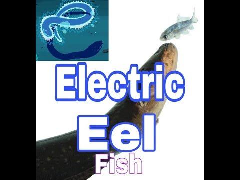 Electric eel in Hindi