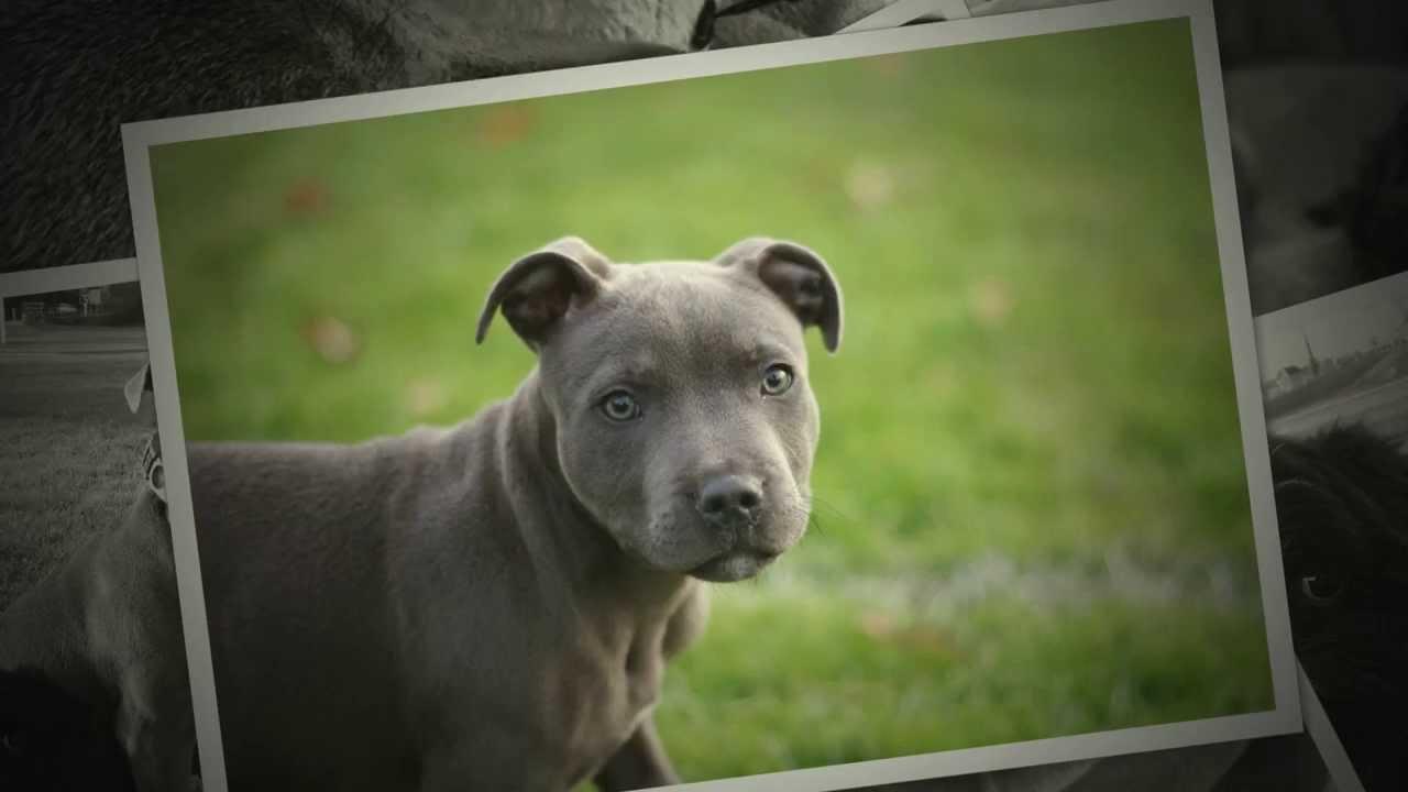 cute blue staffy and black teacup shih-tzu puppies