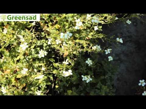 Резуха (белый) - видео-обзор от Greensad