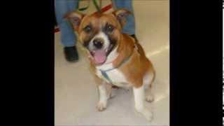 Sonny - Beagle/ Terrier Mix