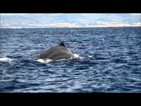 2013 - a year of whale watching in the Azores