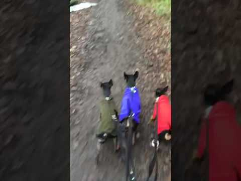 English Toy Terriers Walking