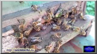 Бродячий рой вселяется в ловушку. Пчеловодство для начинающих. Ловля бродячих роев пчел