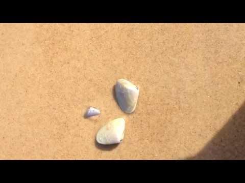 Watch a pipi bury into the sand - Mollusc -Plebidonax deltoides