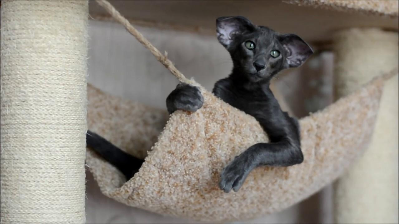 Ориентальный кот видео