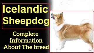 Icelandic Sheepdog. Pros and Cons, Price, How to choose, Facts, Care, History