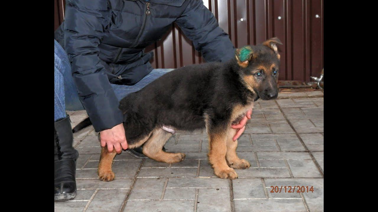 2 месяца щенок немецкой овчарки фото