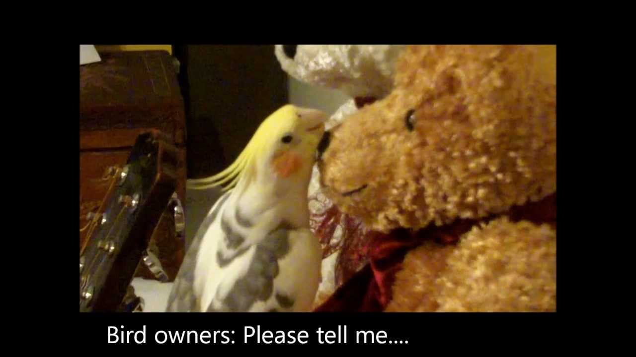 cockatiel love poem to a teddy bear   silly pet funny