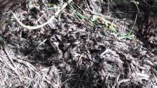 Рыжие лесные муравьи Formica rufa