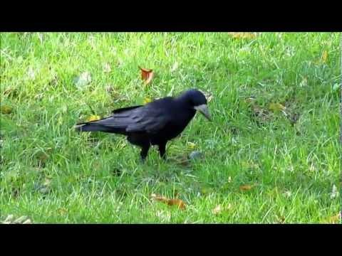 Птица грач, как выглядит и чем питается