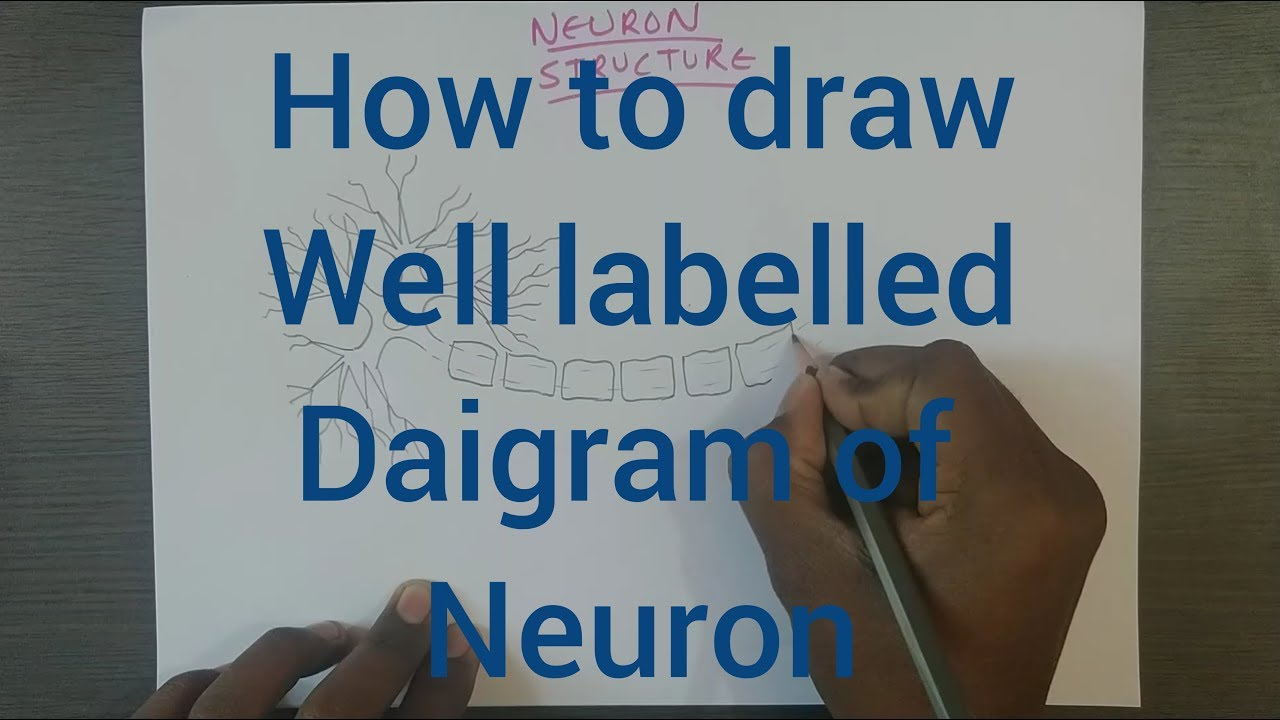 How To Draw Well Labelled Diagram Of Neuron Neuron Nerve Cell