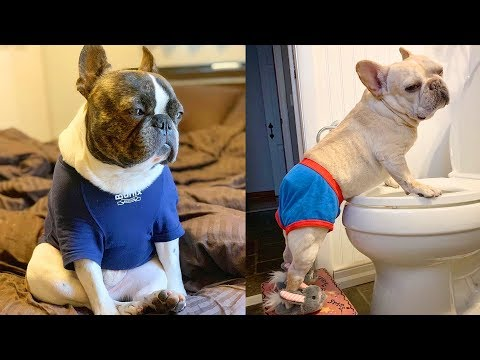 FRENCH BULLDOGS! Try not to laugh | Cute and Funny French Bulldogs doing funny things # 5 |Cute Pets