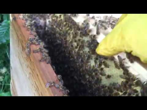 U.K. Beekeeping large swarm from Shirley West Midlands