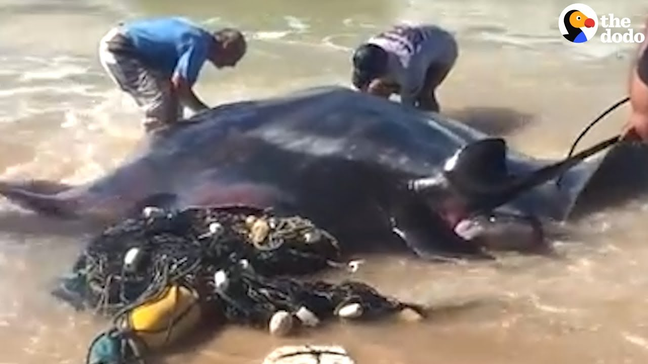 HUGE Manta Ray Stuck in Fishing Net Rescued by Strangers Who Worked Together