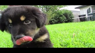 German Shepherd Rottweiler Terrier Mix Puppy Love To Play And Attack Camera