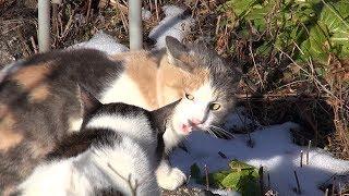 雪が降って寒い中、猫が喧嘩してました。 Very Angry Cat.
